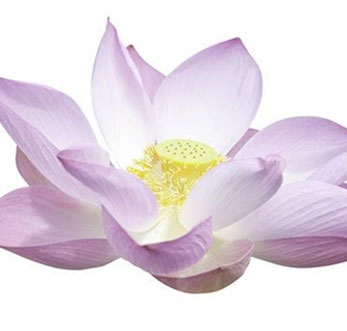 Lotus Flower Oil Benefits And Uses Of Lotus Flower Oil